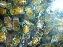 The wisdom of Honeybees